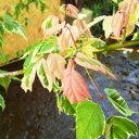 ネグンドカエデ フラミンゴ 樹高1.8〜2.0m前後 (根鉢含まず)