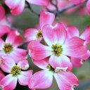 ハナミズキ 赤花 樹高30〜50cm前後 単品