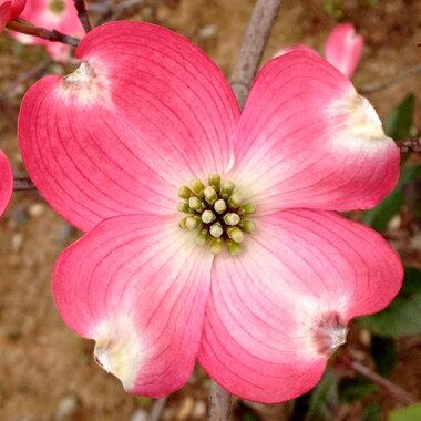 ハナミズキ赤花樹高30〜50cm前後単品