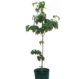ハナミズキ 赤花 単木 樹高1.5m前後(根鉢含まず) 単品