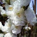 ハナモモ 照手(テルテ) 白花 樹高1.8〜2.0m前後 (根鉢含まず)