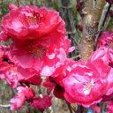 ハナモモ 照手(テルテ) 赤花 樹高1.8〜2.0m前後 (根鉢含まず)
