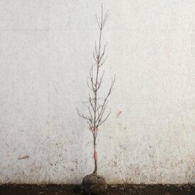 ハナミズキ チェロキーチーフ 赤花 単木 樹高1.5m前後(根鉢含まず) 単品