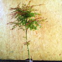 モミジ 出猩々(デショウジョウ) 樹高1.8〜2.0m前後(根鉢含まず) 単品