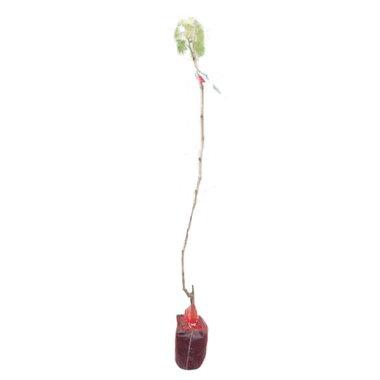 葡萄(ブドウ)巨峰(キョホウ)樹高80cm前後単品