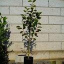 柿 富有 (フユウ) 樹高1.8〜2.0m前後 (根鉢含まず)