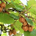 キウイ 香緑 (メス)・トムリ (オス) 樹高80cm前後 受粉樹2本セット