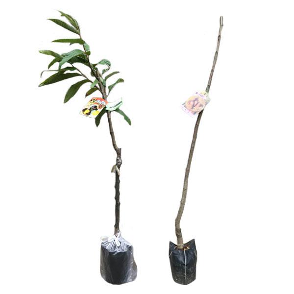 栗 ポロタン・利平 (リヘイ) 樹高80cm前後 【交配品種2本セット】