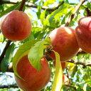 桃 (モモ) (品種指定不可) 樹高1.8〜2.0m前後 (根鉢含まず)
