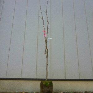 梨(ナシ) 幸水(コウスイ) 樹高1.8〜2.0m前後(根鉢含まず) 単品