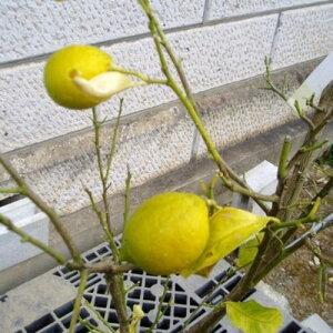 レモン (品種指定不可) 単木 樹高1.2m前後(根鉢含まず) 単品