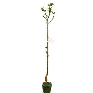 サクランボ 佐藤錦 (サトウニシキ) 樹高80cm前後 3本セット