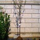 スモモソルダム単木樹高1.8〜2.0m前後(根鉢含まず)