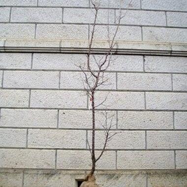 ブンゴウメ(豊後梅)樹高1.8〜2.0m前後(根鉢含まず)