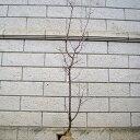 ブンゴウメ 樹高1.8〜2.0m前後(根鉢含まず) 単品
