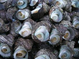 楽天最安値に挑戦!天然サザエ 日本海から新鮮なプリプリサザエをお届け!大人数でのバーベキューに最高!約5kg(40〜80個)