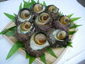楽天最安値に挑戦!!天然サザエ 日本海から新鮮なプリプリサザエをお届け!約1kg(8〜15個)