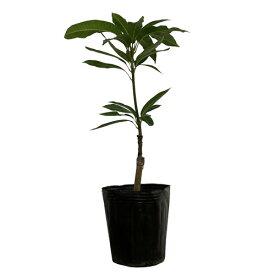 アップルマンゴー苗(アーウィン種)接木苗 マンゴー苗木