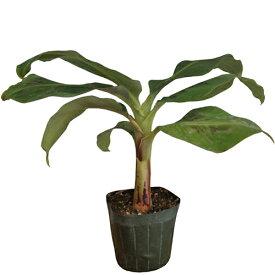 モンキーバナナ苗 メリクロンポット苗