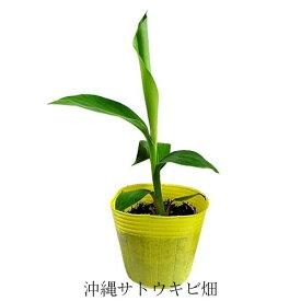 島バナナ苗 メリクロンポット苗