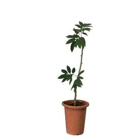 レイシ・ライチ苗 玉荷包種(ギョッカホウ種)取木苗