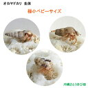 オカヤドカリ生体 極小ベビーサイズ 3匹セット
