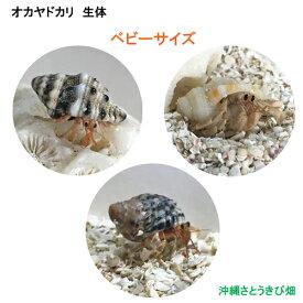 オカヤドカリ生体 ベビーサイズ 3匹セット
