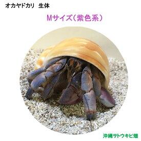 オカヤドカリ生体 Mサイズ(紫色系) 1匹