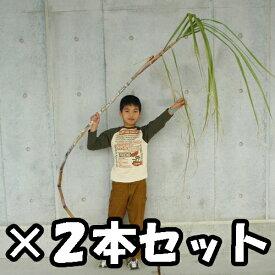 【送料無料】そのまんまサトウキビ2mサイズ2本セット(さとうきび)