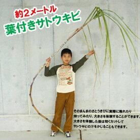 そのまんまサトウキビ2mサイズ(さとうきび)