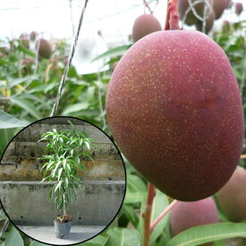 (送料無料)アップルマンゴー苗(アーウィン種)接木苗 マンゴー苗木
