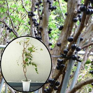 ジャボチカバ苗 (四季なり種)接木苗