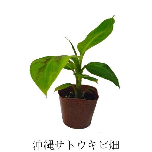 三尺バナナ苗 メリクロンポット苗