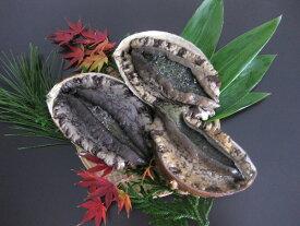 【送料無料】おススメ!ギフト・贈り物に 日本海 獲れたて新鮮!天然黒鮑(アワビ)!生きたまま発送!天然黒あわび 500g(2枚〜3枚)