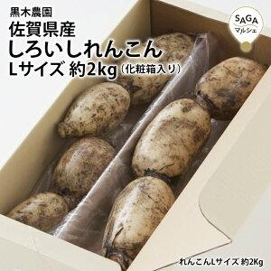 佐賀県産 しろいしれんこん Lサイズ化粧箱入り レンコン 蓮根 佐賀 野菜 やさい 根野菜