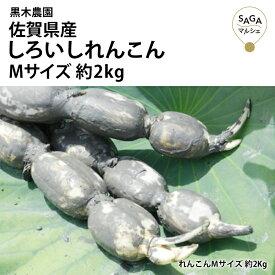 佐賀県産 しろいしれんこん Mサイズ レンコン 蓮根 佐賀 野菜 やさい 根野菜