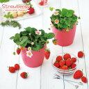 ピンクの花咲くストロベリー栽培セット 四季なりいちご(インテリアグリーン・おしゃれ・かわいい 野菜 栽培セット・…