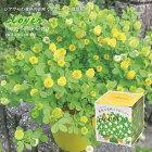 新製品!シアワセの黄色の花咲くクローバー栽培セットハートポット付(インテリアグリーンおしゃれかわいい栽培キットガーデニング母の日バレンタインホワイトデー)