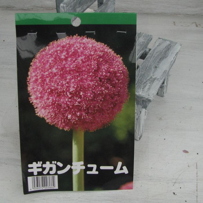 アリウム ギガンチウム 大型の丸い花【1球】 【球根】【秋植え】