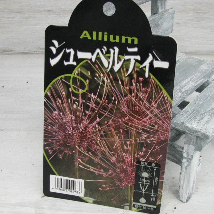 【球根】【秋植え】アリウム シューベルティ