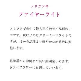 ノリウツギ苗ノリウツギファイヤーライト【落葉低木】10.5cmPOT