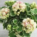 【多年草】八重咲き 斑入り ゼラニウム アップルブロッサム ホワイトリング