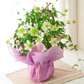 【母の日】クレマチス白万重鉢花【メッセージカード】