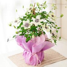 母の日ギフトクレマチステッセン鉢花