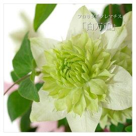 クレマチス白万重鉢花【メッセージカード】【母の日ギフト】
