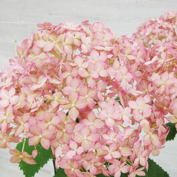 ピンクアナベル アメリカアジサイ 珍しいピンク 15cmPOT【落葉中】