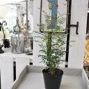【常緑高木】シマトネリコ 記念樹に 4号ポット