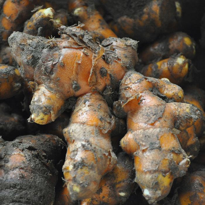 秋ウコン 種 500g うこんの種【充填時】【春植え芋】【2018年予約受付中】