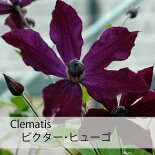 クレマチス【苗】インテグリフォリアビクター・ヒューゴ青・紫系