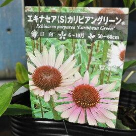 【宿根草】エキナセアカリビアングリーン